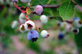Blueberries almost ripe Stock Photography