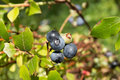 Blueberries ripe close a small group of ripening on the vine Stock Images