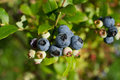 Blueberries ripening a nice view of in early morning sun Royalty Free Stock Photos