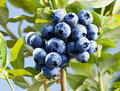Blueberries on a shrub macro shot Stock Images