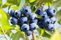 Blueberries on a shrub macro shot Royalty Free Stock Photo
