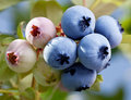 Blueberries on a shrub macro shot Stock Photo