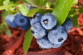 Blueberries on a shrub macro shot Royalty Free Stock Photography