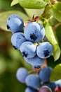 Blueberries on a shrub macro shot Royalty Free Stock Image