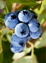 Blueberries on a shrub macro shot Stock Photos
