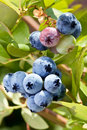 Blueberries on a shrub macro shot Royalty Free Stock Images