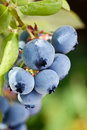 Blueberries on a shrub macro shot Royalty Free Stock Photos