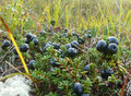 Blueberries are in the swamp the landscape of the northern natu nature Stock Photos