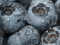 Blueberries, up close Royalty Free Stock Photo