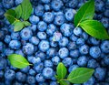 Blueberry background. Ripe and juicy fresh picked blueberries backdrop, closeup. Organic Blue berries with green leaves Royalty Free Stock Photo