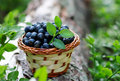 Blueberry beauty ripe in a basket Royalty Free Stock Image