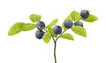 Blueberry branch with six berries Royalty Free Stock Photo