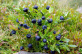 Blueberry bush Royalty Free Stock Photo