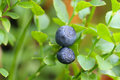 Blueberry at the bush berries Stock Image