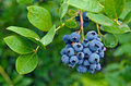 Blueberry cluster on bush Royalty Free Stock Photo