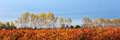 Blueberry farm field in autumn Royalty Free Stock Photo