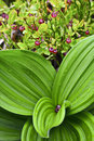 Blueberry flowers and veratrum album leaves Royalty Free Stock Images