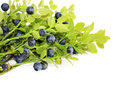 Blueberry fresh bush with ripe berries close up Stock Photo