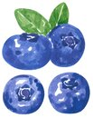 Blueberry fruit clipart set. Hand drawn watercolor illustration