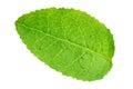 Blueberry leaf isolated Royalty Free Stock Photo