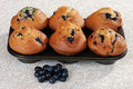 Blueberry muffins in a baking pan Stock Photos