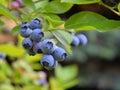 Blueberry plant highbush with fruits Stock Images