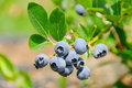Blueberry on shrub Royalty Free Stock Photo