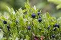 Blueberry shrubs Royalty Free Stock Photo