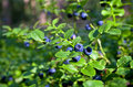 Blueberry shrubs with berry Royalty Free Stock Photo