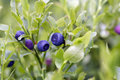 Blueberry shrubs - forest product Royalty Free Stock Photo