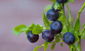Blueberry sprigs Stock Photo