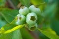 Blueberry vaccinium macro shot of ripening blueberries Stock Photography