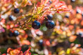 Blueberry at yellow and orange leaves background. Closeup Royalty Free Stock Photo