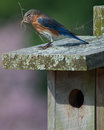 Bluebird Royalty Free Stock Photography