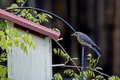 A bluebird checks out her eggs in a nesting box an eastern nest Royalty Free Stock Photography