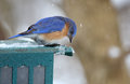 Bluebird with Falling Snow Stock Images