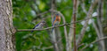Bluebird and fledgling male eastern with perched on tree branch Royalty Free Stock Images