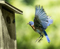 Bluebird Flying Home with Food Royalty Free Stock Photo