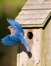 Bluebird leaving the birdhouse Royalty Free Stock Photo
