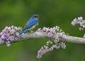 Bluebird On Lilacs