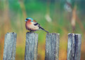 A bluebird sits on a fencepost wooden with blur green backdrop Stock Photos
