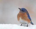 Bluebird in snow Stock Photo