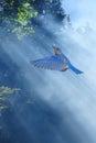 Bluebirds Fly In Sunlight Spri...