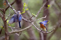 Bluebirds At Forbes State Park...