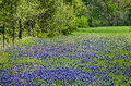 Bluebonnet field the state flower of texas blooming in the spring Royalty Free Stock Photos