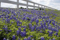 Bluebonnets fence Stock Photo