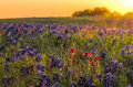 Bluebonnets and indian paintbrushes near ennis tx texas wildflowers awash in early morning sunshine Royalty Free Stock Photos