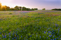 Bluebonnets and indian paintbrushes near ennis tx texas wildflowers captured at sunset Stock Photo