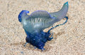 Bluebottle jellyfish in Queensland Australia Royalty Free Stock Photo