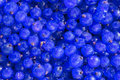 Bluecurrant background with ureal blue currant Royalty Free Stock Image